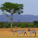 09safari
